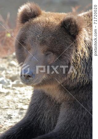 昏昏欲睡的熊(Higuma秋田縣Kumakumaen) 71720020