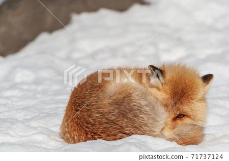 北海道北狐狸在雪地上 71737124