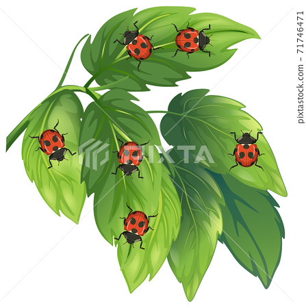 Lady bugs on leaves isolated on white background 71746471