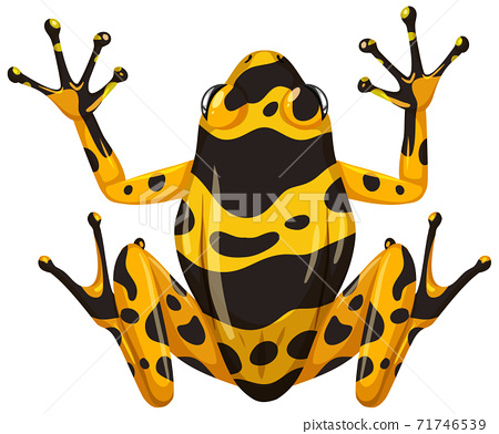 Yellow banaded frog isolated on white background 71746539