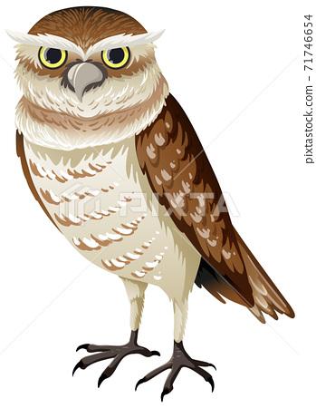 Burrowing owl isolated on white background 71746654