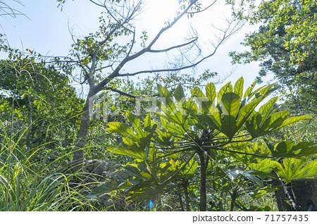 손을 닮은 큰 잎 71757435