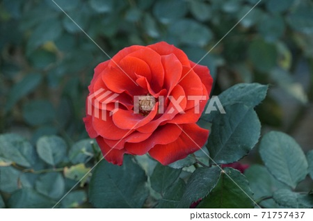Up of a red rose flower 71757437