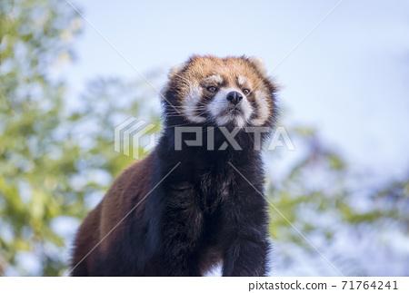 팬더 곰 새끼 고양이 귀여운 동물 동물원 인기 71764241