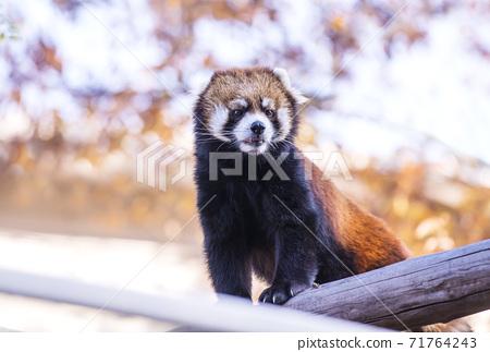 小熊貓,熊貓,可愛的動物在動物園受歡迎 71764243