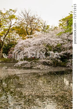 Mishima Taisha Sakura 71771915