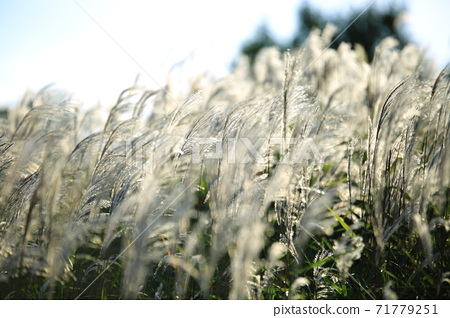 A silver grass is a beautiful day! , Silver grass glow, 71779251
