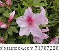 azalea, azaleas, rose bay 71787228