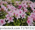 Azalea flower 02: Light pink azalea flower in full bloom 71787232