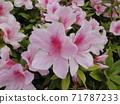 Azalea flower 03: Up the light pink azalea flowers that are in full bloom. 71787233