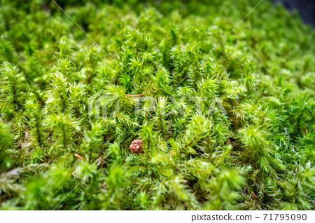 Moss detail in Vanoise national Park, French alps 71795090