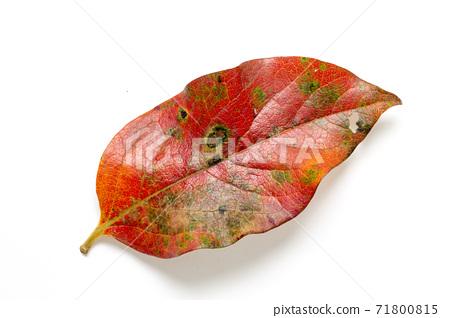 秋葉柿子leaf_05 71800815