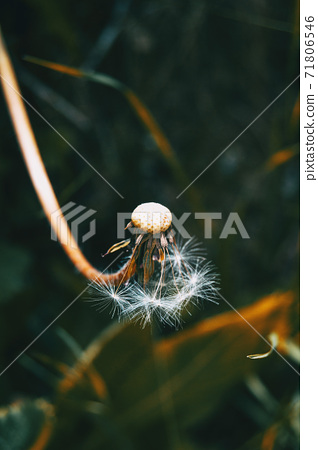 Detail of a half-peeled taraxacum campylodes flower 71806546