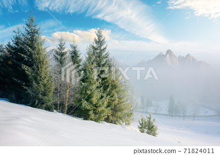 spruce forest on a snow covered hill. beautiful comosite mountain landscape in winter. misty weather with bright sky 71824011