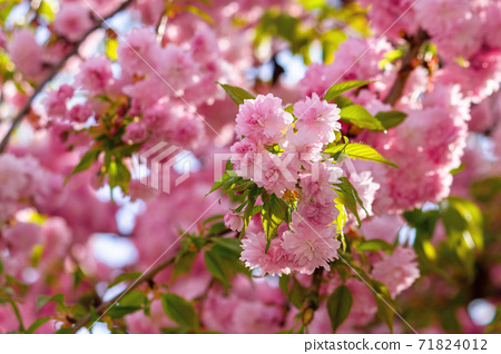 pink cherry blossom in spring time. lush flowers sakura on branches in morning light. beautiful nature background 71824012