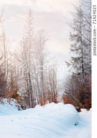 tall beech trees in hoarfrost at sunrise. beautiful winter nature scenery on a bright misty morning. snow on the ground 71824025