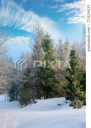 spruce forest on a misty morning. beautiful landscape in winter. misty weather with bright sky. hillside covered in snow 71824032