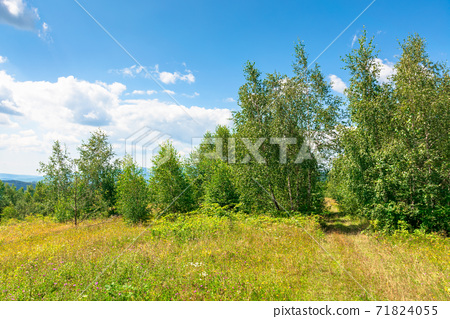 young forest on the meadow in mountains. summer nature scenery with range of trees beneath a blue sky with fluffy clouds in summer 71824055