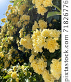 Mockow玫瑰黃 71826776