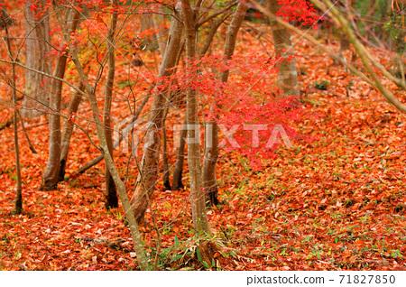 시가현의 녹지 공원의 단풍 풍경, 선명한 색채, 계절 [11 월] 71827850