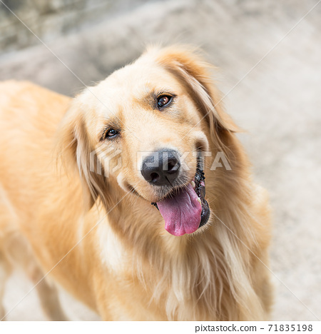 Golden retriever dog 71835198