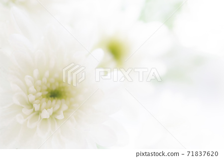 White chrysanthemum flower mourning postcard, winter greetings, material background, copy space, spray mum, Asteraceae, autumn, winter, spring, early Europe 71837620