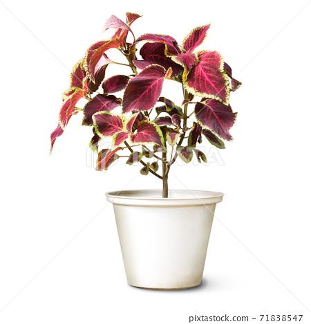 Coleus plant 71838547
