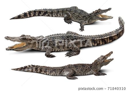 Crocodile group isolated 71840310