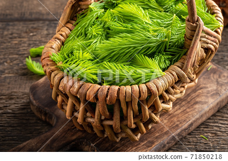 Young spruce tips in a basket, collected to prepare syrup 71850218