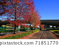 11月Inagi 351 Minamitama山脊主要道路的楓樹秋葉 71851770