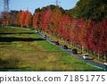 11月Inagi 346,Minamitama山脊主要道路的楓樹秋葉 71851775