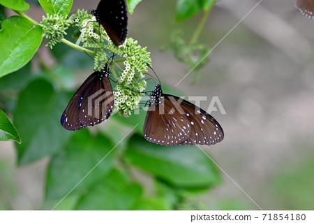 小紫斑蝶(Euploea tulliolus koxinga) 71854180