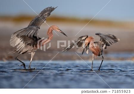 A Reddish Egret on the Beach in Florida  71855923