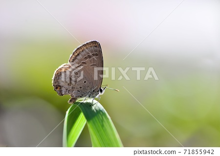 恒春琉璃小灰蝶;綺灰蝶.(Chilades laius koshuensis Matsumura,  71855942