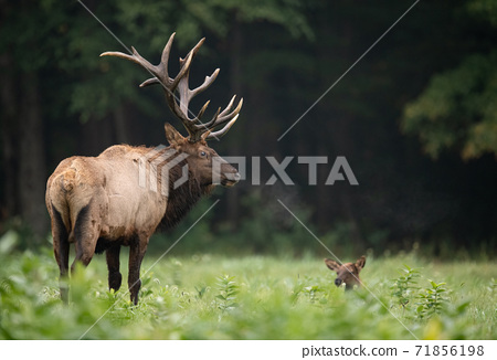 Wild Elk During Rut  71856198