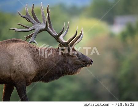 Wild Elk During Rut  71856202