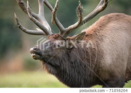 Wild Elk During Rut  71856204