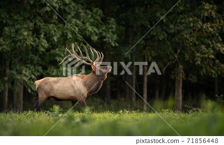 Wild Elk During Rut  71856448