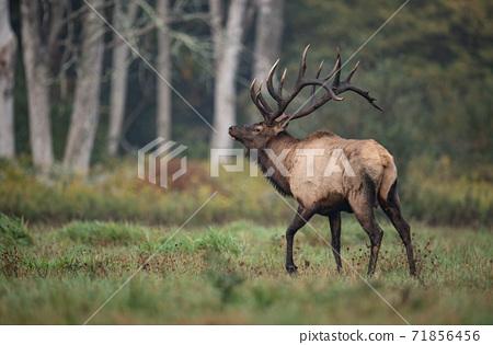 Wild Elk During Rut  71856456