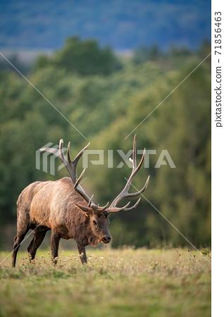 Wild Elk During Rut  71856463