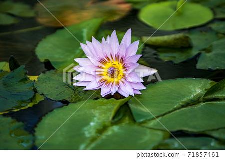 가을에 피는 식물원 열대 수련 꽃 71857461