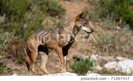 Profile view of wolf over the rocks looking the right 71867437