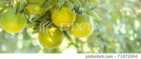 橘子 果園 橘子樹 自然 Tangerine tree orange garden 蜜柑 みかん 71872064