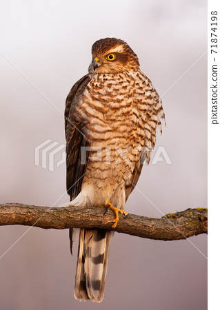 Eurasian sparrowhawk sitting on branch in autumn nature 71874198
