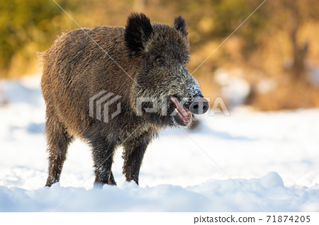 Wild boar standing on snowy field in winter nature 71874205