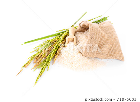 organic paddy rice,ear of paddy, ears of Thai jasmine rice isolated on white background 71875003