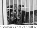 Black and white photo of homeless dog in a shelter for dogs. BW 71886037