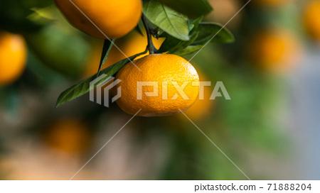 Mandarin orange before harvest 71888204