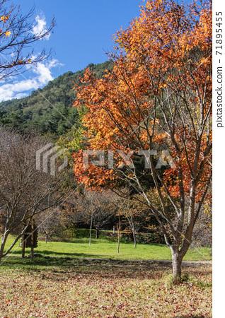 季節限定的大自然-武陵農場銀杏與楓紅 71895455