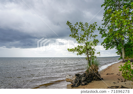 a living tree with washed roots on the shore of the Baltic Sea 71896278